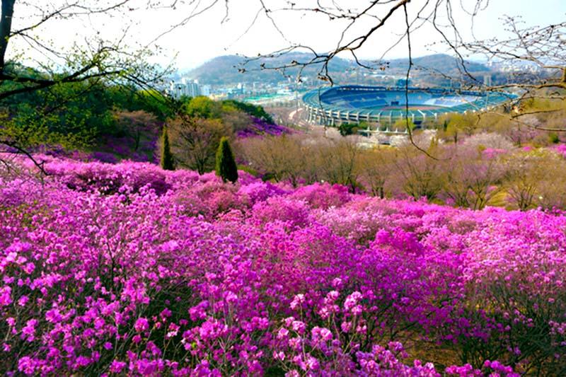 50 hình ảnh hoa Đỗ Quyên tổng hợp đẹp nhất