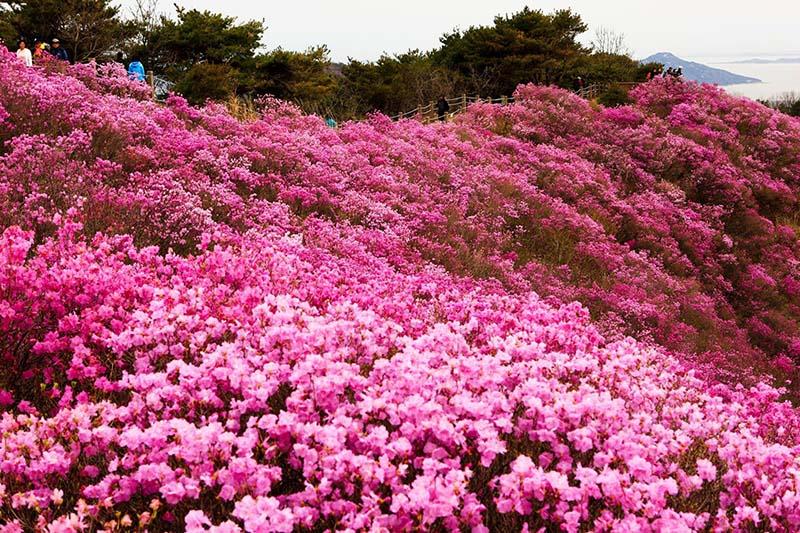 Cánh đồng hoa Đỗ Quyên tràn ngập sắc hồng