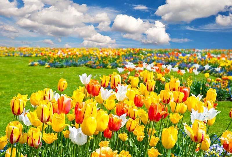 Cánh đồng hoa Tulip bát ngát màu vàng