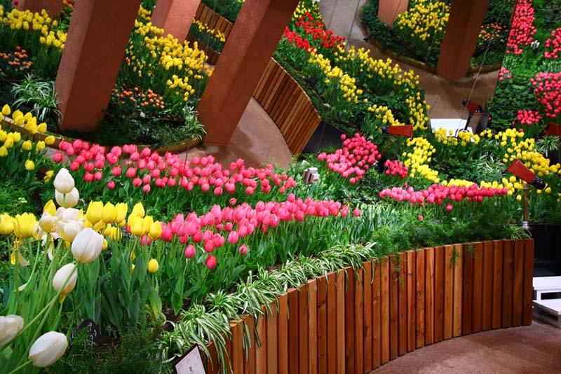 Cánh đồng hoa Tulip nơi xứ xở hà lan