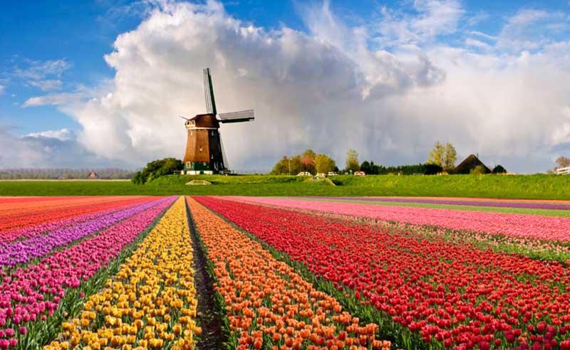 Cánh đồng hoa Tulip rưc rỡ đủ màu sắc