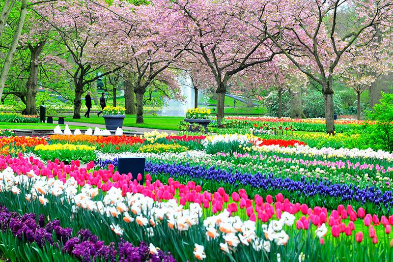 Cánh đồng hoa Tulip rực rỡ khoe sắc