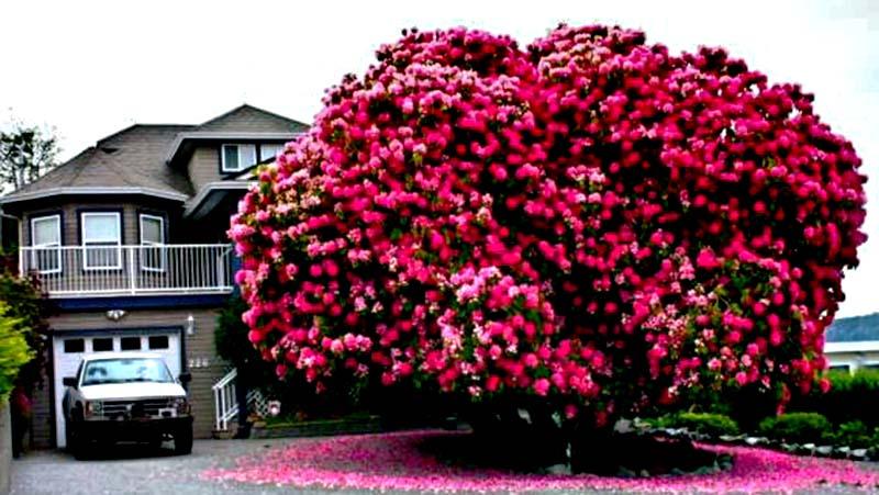 Cây hoa Đỗ Quyên cổ thụ hình ảnh đẹp mắt nhất
