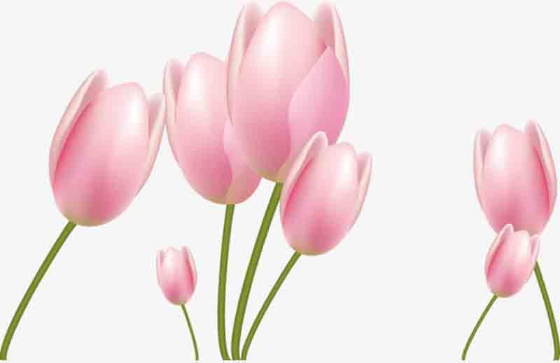 Chiêm ngưỡng vẻ đẹp của hoa Tulip