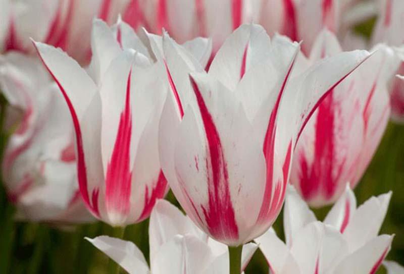Chiêm ngưỡng vẻ đẹp tinh khôi của loài hoa Tulip