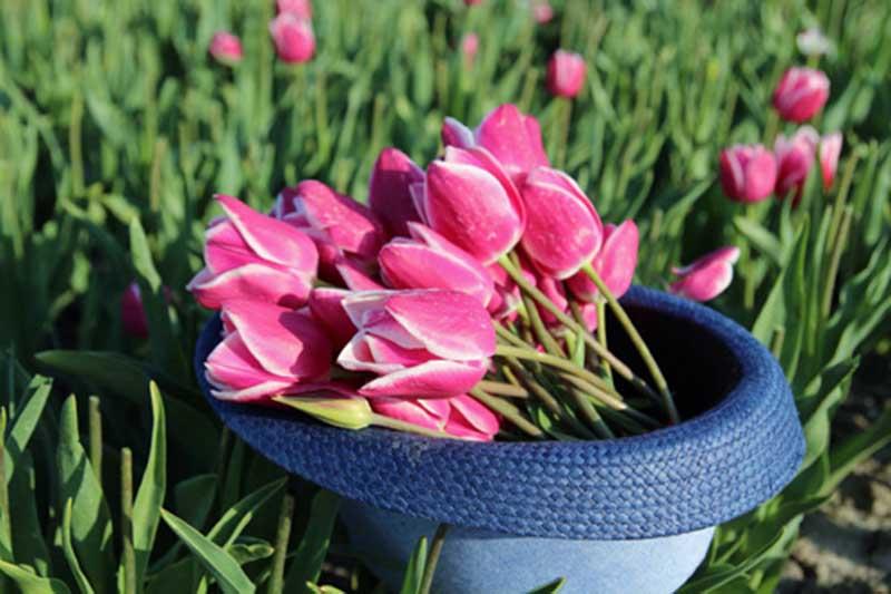 Hai thiên thần lai gốc việt giữa cánh đồng hoa Tulip