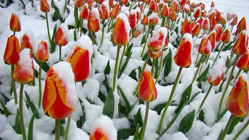 Hàng ngàn bông hoa Tulip ngập tràn trong tuyết