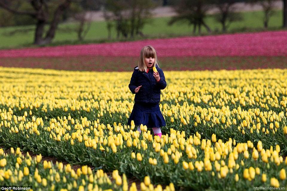 Hình ảnh cánh đồng hoa Tulip