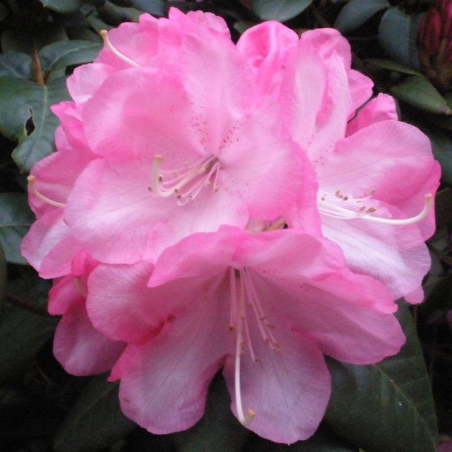 Hình ảnh hoa Đỗ Quyên nở rộ