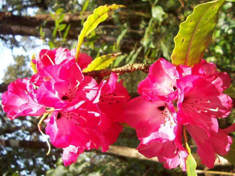 Hình ảnh hoa Đỗ Quyên nở rực rỡ khắp nơi