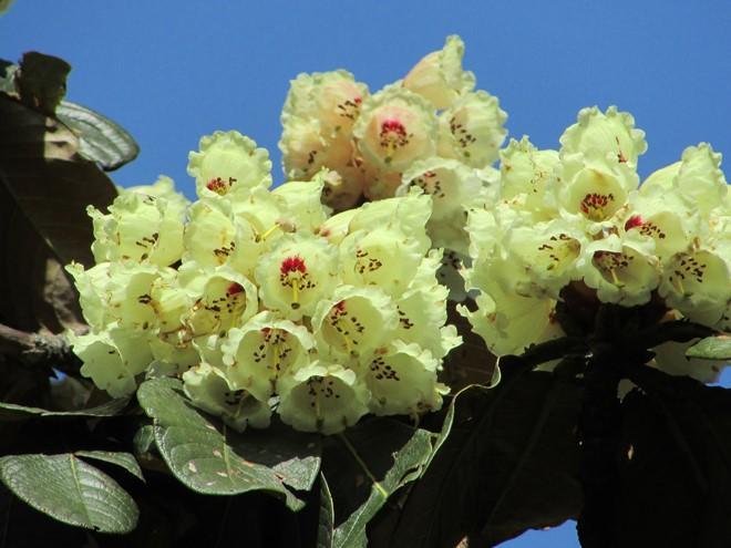 Hình ảnh hoa Đỗ Quyên