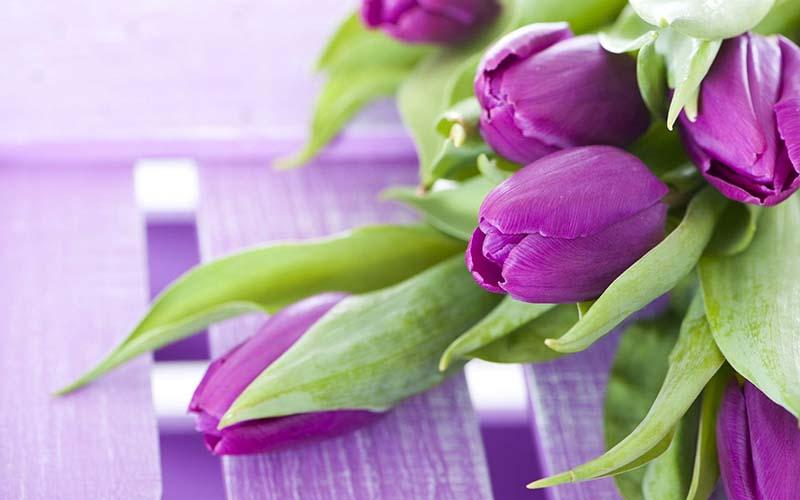 Hình ảnh hoa Tulip đẹp cho lễ hội