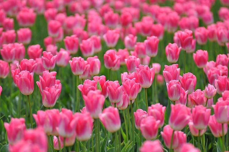 Hình ảnh hoa Tulip đẹp nhất mang sắc hồng ngọt ngào