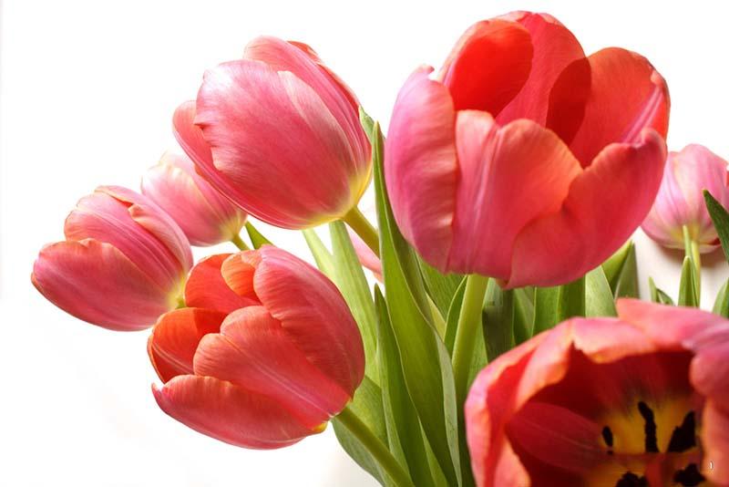 Hình ảnh hoa Tulip đỏ