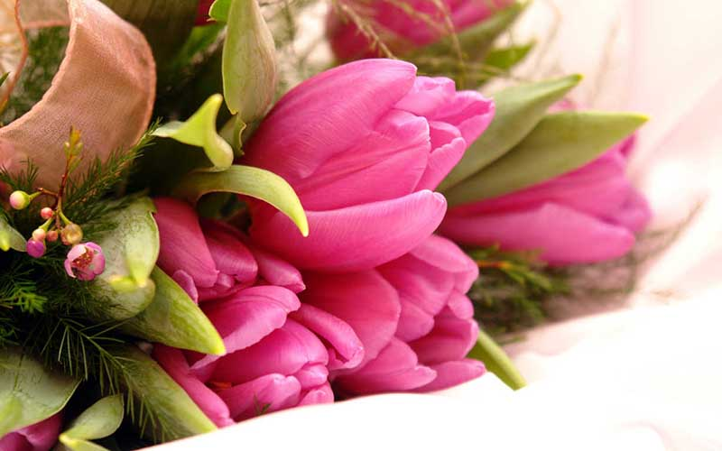 Hình ảnh hoa Tulip màu hồng đẹp nhất