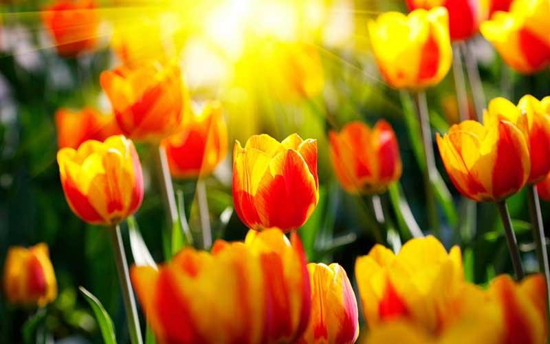 Hình ảnh hoa Tulip màu vàng