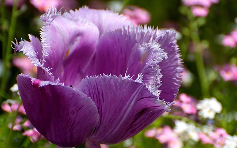 Hình ảnh hoa Tulip tím rực rỡ sắc màu