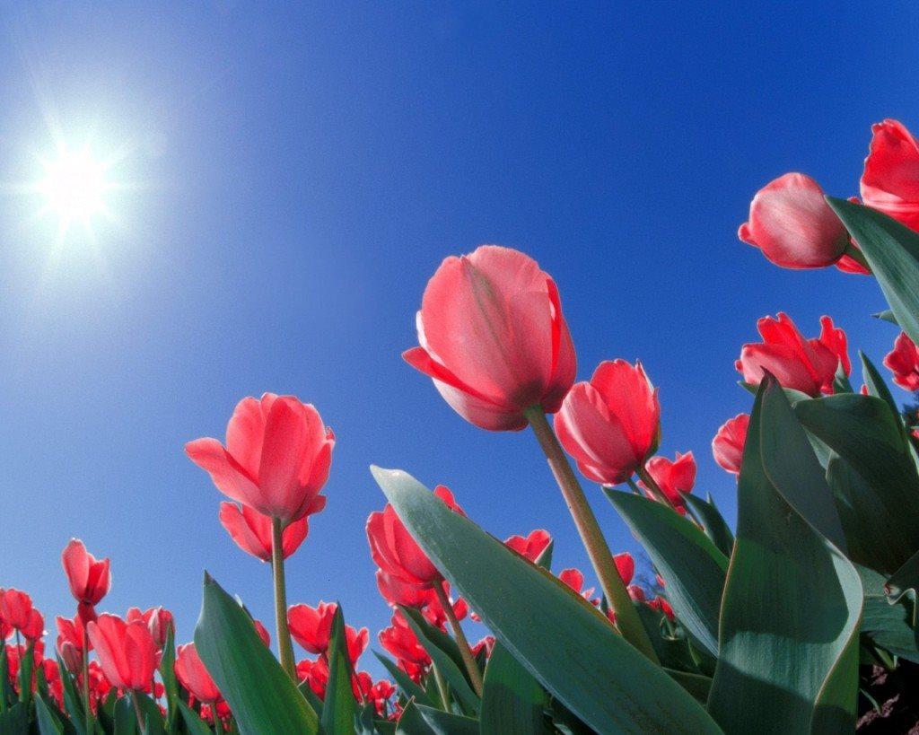 Hình ảnh hoa Tulip tổng hợp đẹp nhất trong nắng mai