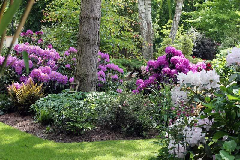 Hình ảnh vườn hoa Đỗ Quyên rực rỡ và ấn tượng nhất