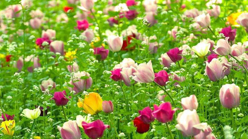 Hình nền hình ảnh cánh đồng hoa Tulip