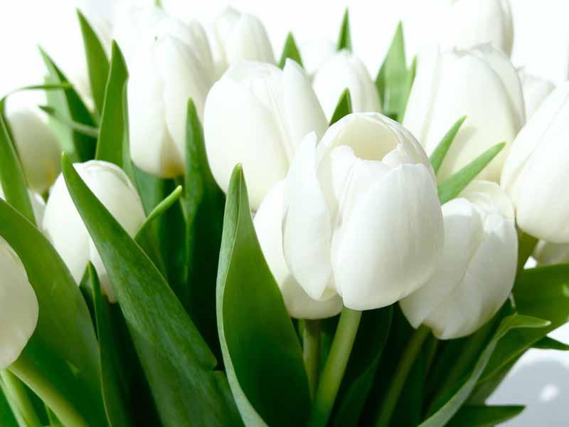 Ho tulip trắng hình ảnh đẹp nhất