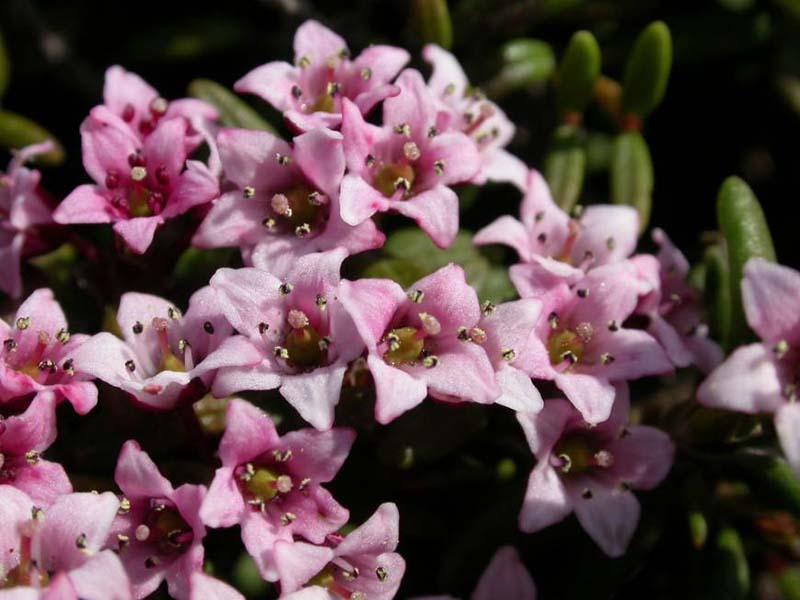 Hoa Đỗ Quyên hình ảnh đẹp nhất