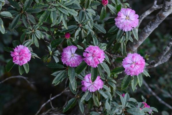 Hoa Đỗ Quyên hồng đẹp nhất khoe sắc trong nắng