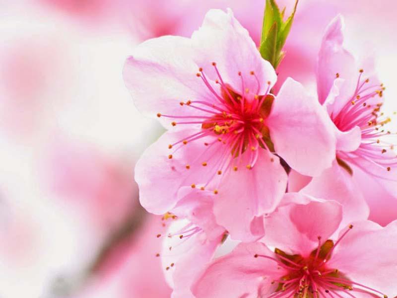 Hoa Đỗ quyên màu hồng rực rỡ trong nắng hè