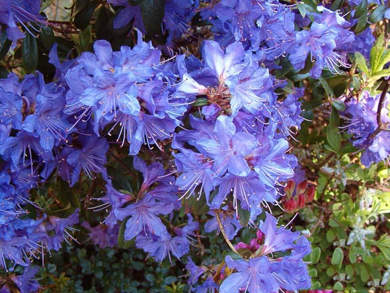 Hoa Đỗ Quyên màu tím khoe sắc