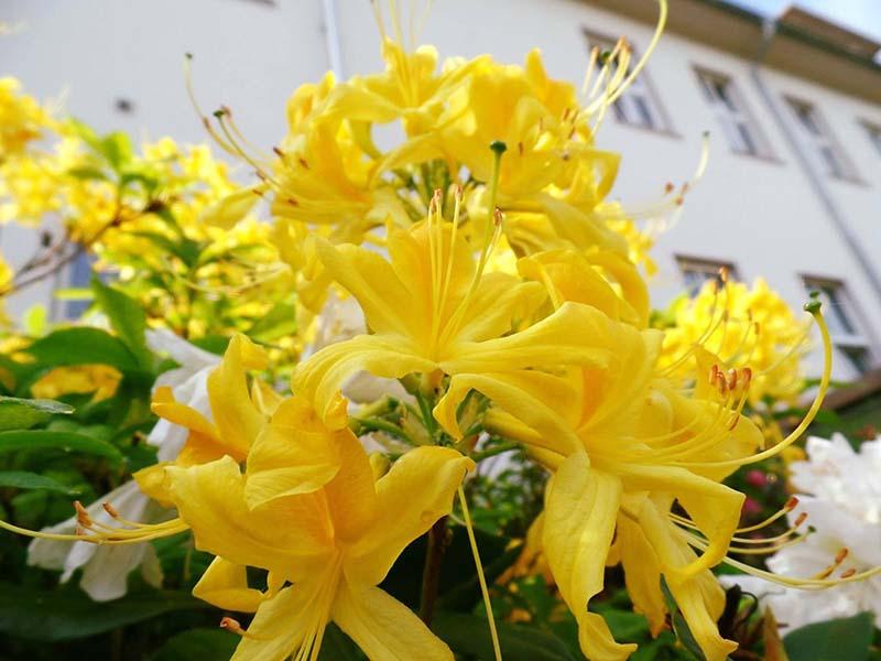 Hoa Đỗ Quyên màu vàng khoe sắc đẹp nhât