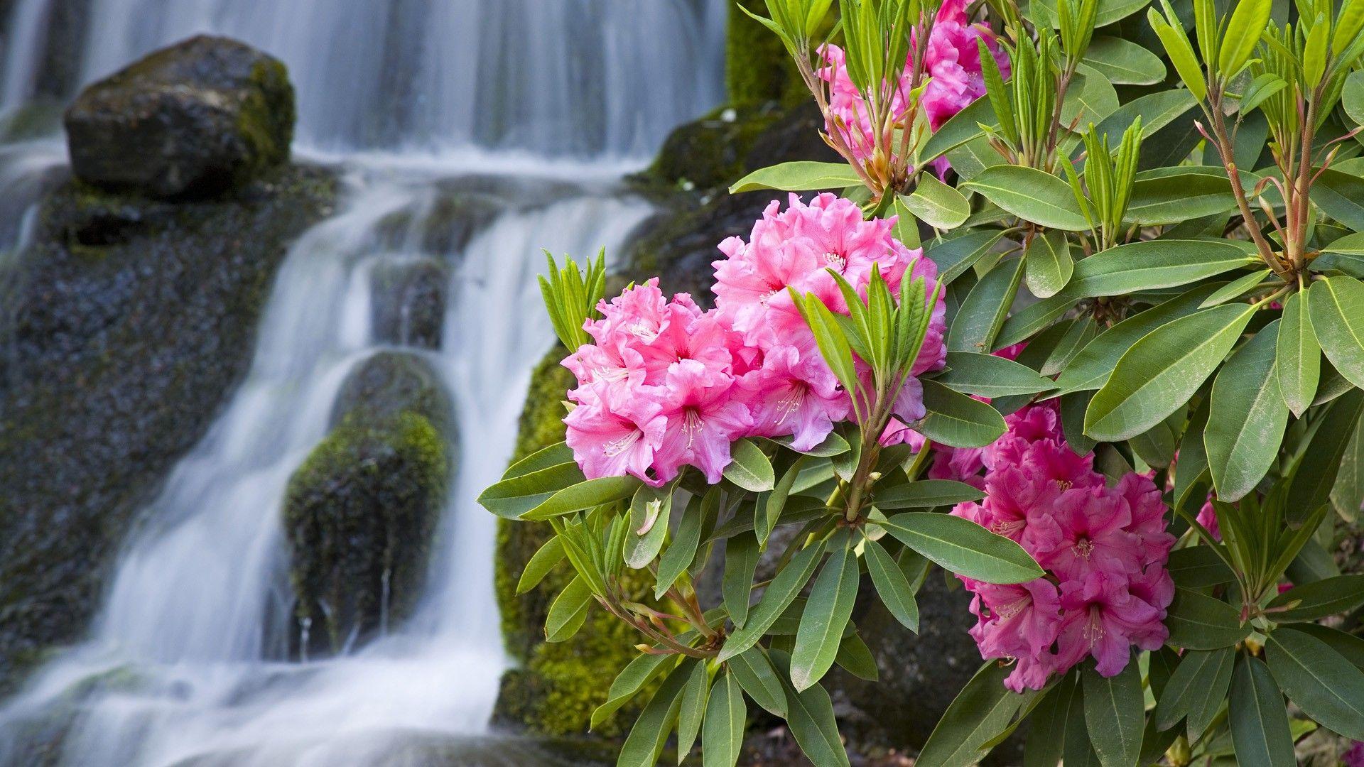 Hoa Đỗ Quyên mọc bên suối nước