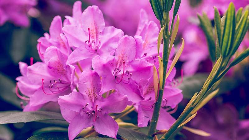 Hoa Đỗ Quyên nở rộ đẹp nhất