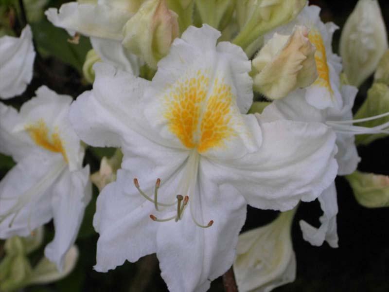 Hoa Đỗ Quyên trắng đẹp nhất