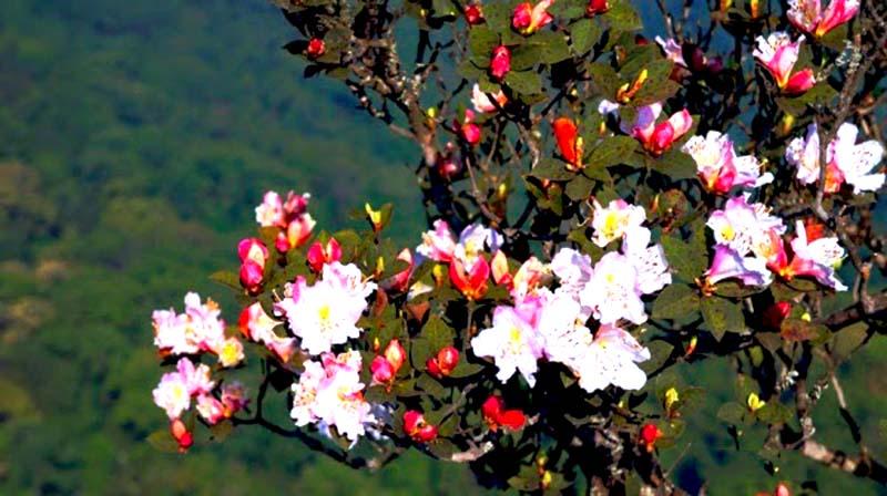 Hoa Đỗ Quyên vẻ đẹp sang trọng lại dịu dàng