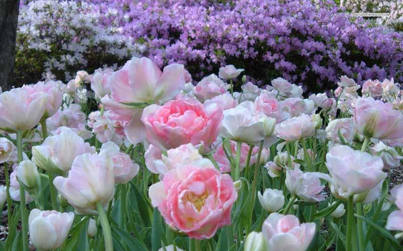 Hoa Tulip hình nền laptop