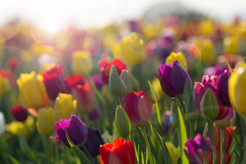 Hoa Tulip hình nền máy tính đẹp nhất