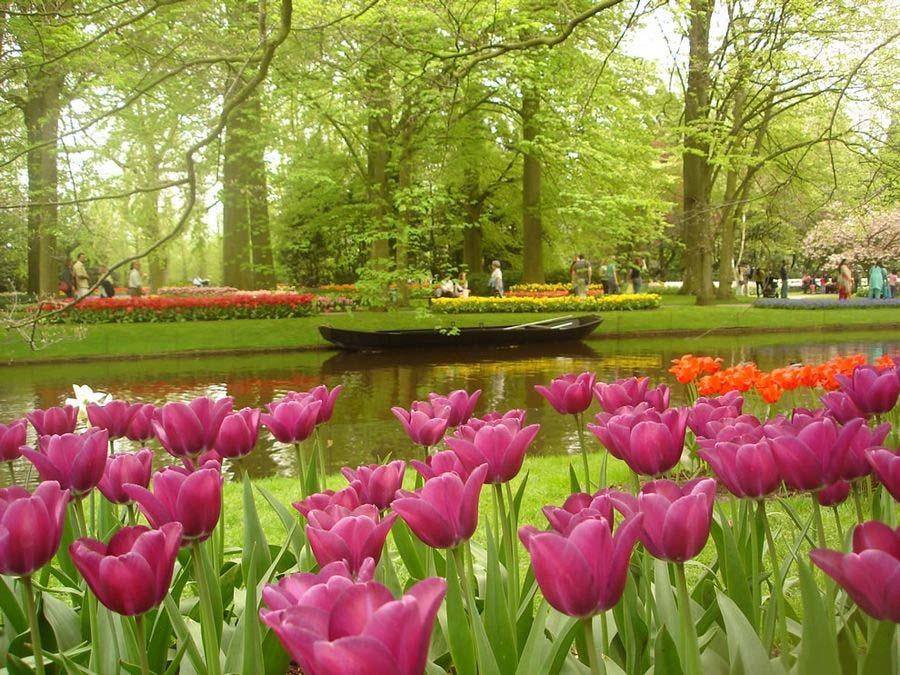 Hoa Tulip hồng rực rỡ và đẹp nhất