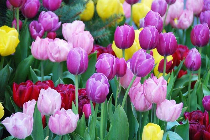 Hoa Tulip tím hình ảnh đẹp nhất