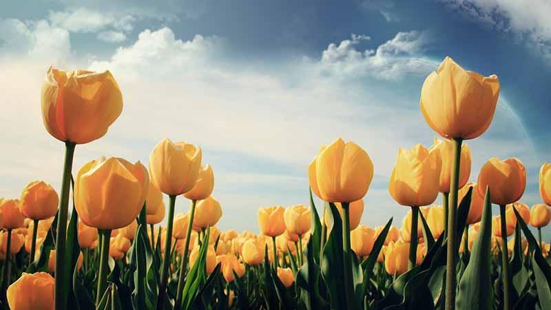 Hoa Tulip vàng tổng hợp những hình ảnh đẹp nhất
