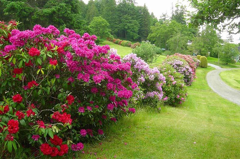 Khu vườn hoa Đỗ Quyên hình ảnh đẹp nhất