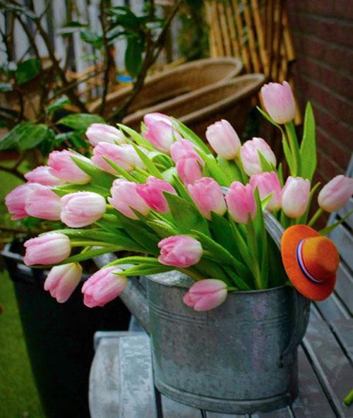 Kĩ thuật trồng hoa Tulip