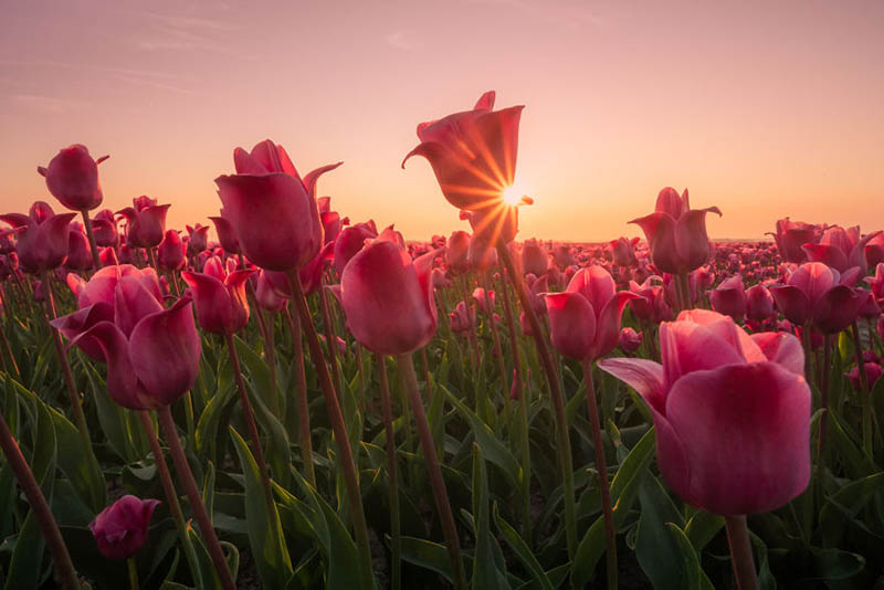 Mãn nhãn với cánh đồng hoa Tulip vào sáng sớm