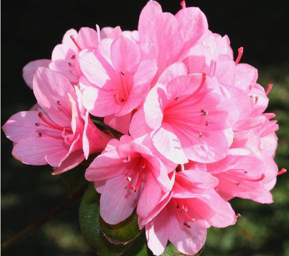 Một đóa hoa Đỗ Quyên rực rỡ Sâp