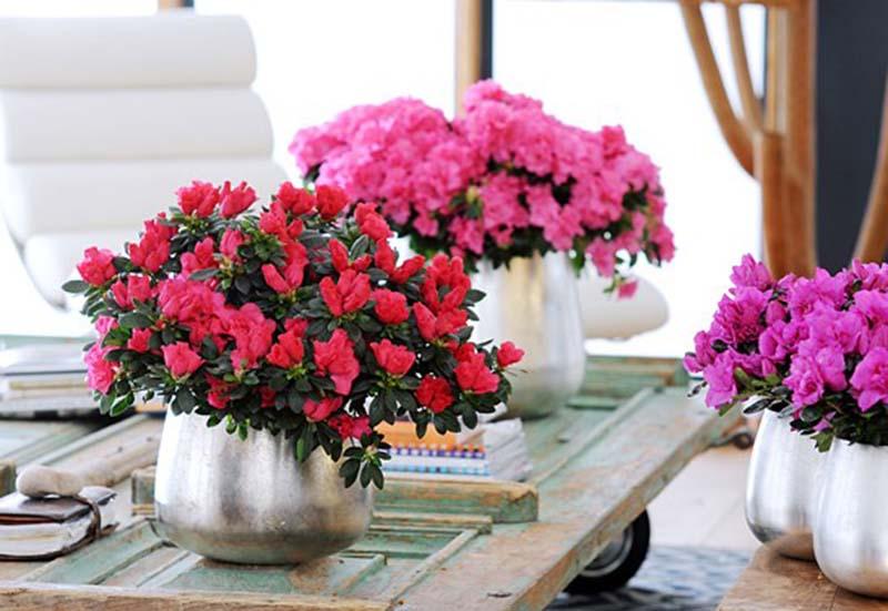 Ngắm hoa Đỗ Quyên ngày cưới