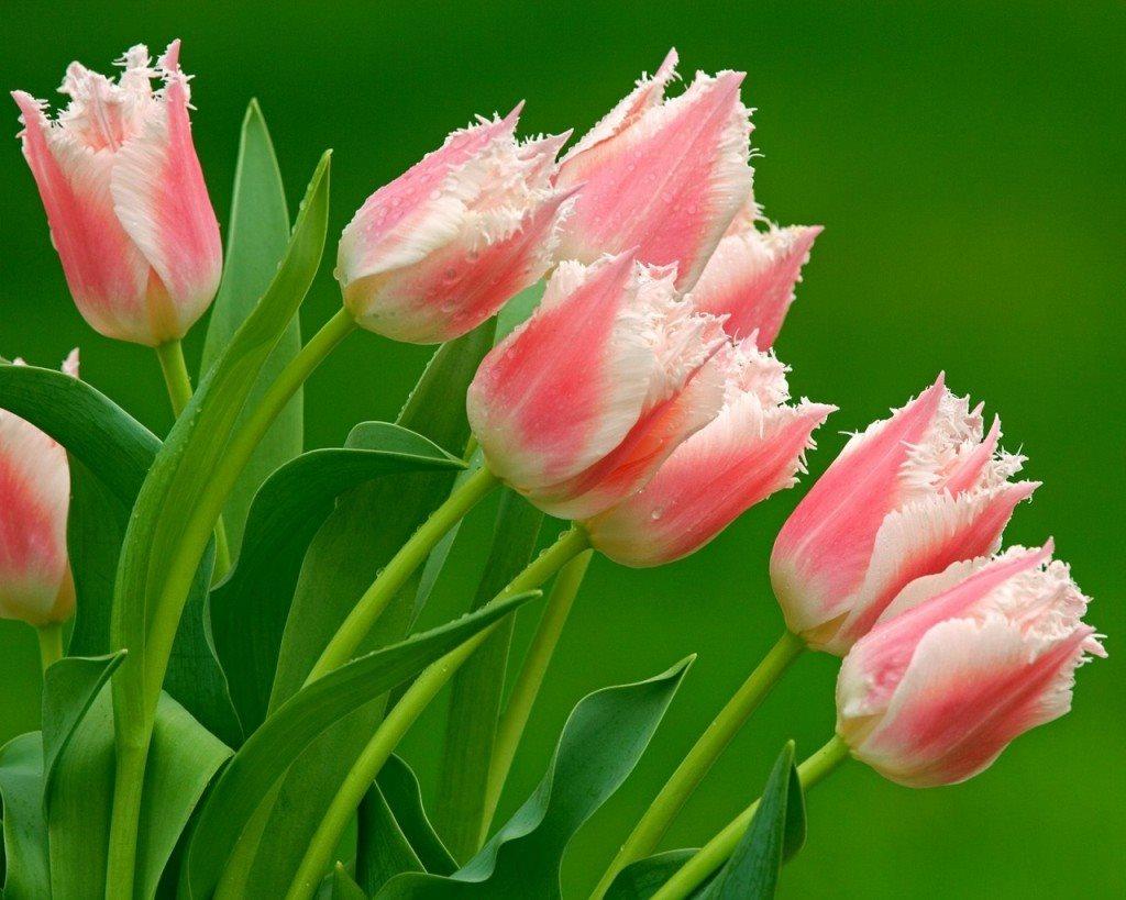 Ngắm nhìn hình ảnh hoa Tulip thanh khiết rực rỡ sắc màu
