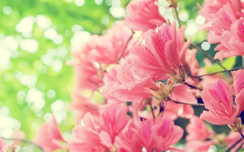 Thưởng thức vẻ đẹp của hoa Đỗ Quyên rực rỡ trong nắng