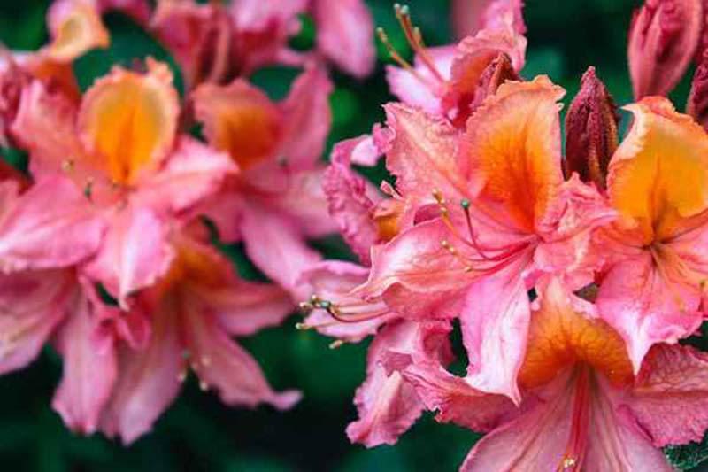 Tổng hợp những hình ảnh đẹp nhất của hoa Đỗ Quyên