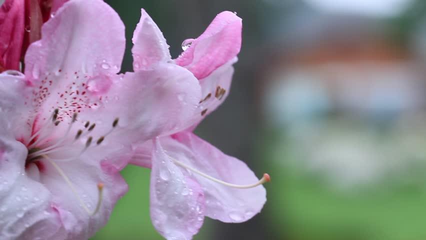 Tổng hợp những hình ảnh hoa Đỗ Quyên đẹp nhất