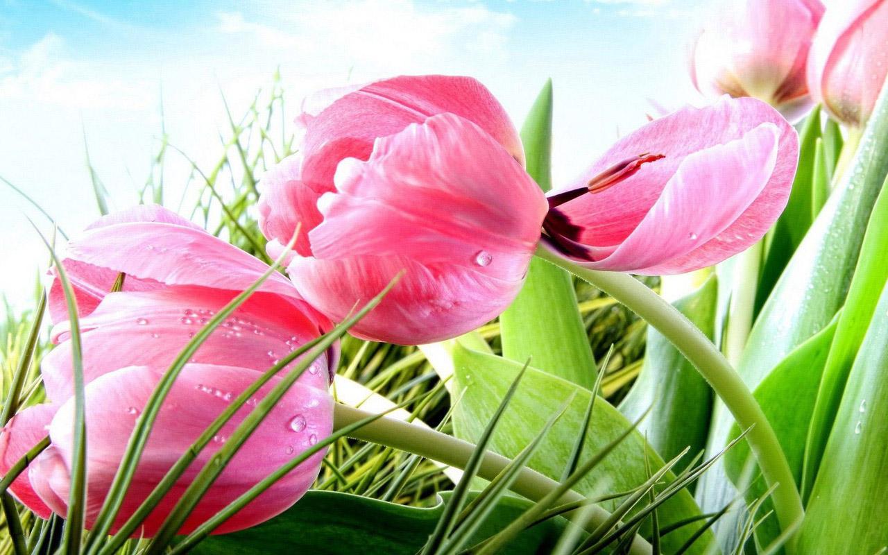 Tổng hợp những hình ảnh hoa Tulip đẹp nhất