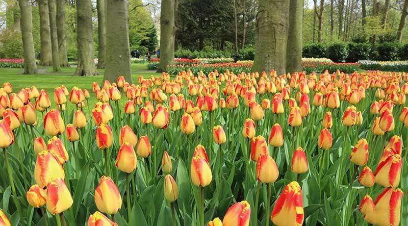 Vẻ đẹp của cánh đồng hoa Tulip